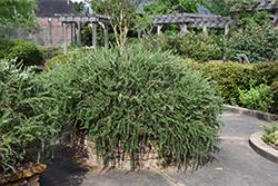 Huntington Carpet Rosemary (Rosmarinus officinalis 'Huntington Carpet') at Roger's Gardens