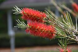 Slim Bottlebrush (Callistemon viminalis 'CV01') at Roger's Gardens