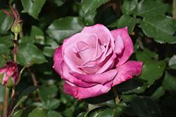 Fragrant Plum Rose (Rosa 'Fragrant Plum') at Roger's Gardens
