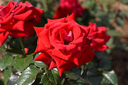 Drop Dead Red Rose (Rosa 'Drop Dead Red') at Roger's Gardens