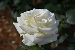 Sugar Moon Rose (Rosa 'WEKmemolo') at Roger's Gardens