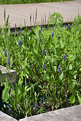 Pickerelweed (Pontederia cordata) at Roger's Gardens