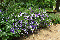 Compact Yesterday Today And Tomorrow (Brunfelsia pauciflora 'Eximia') at Roger's Gardens