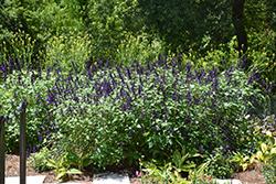 Purple Majesty Sage (Salvia guaranitica 'Purple Majesty') at Roger's Gardens
