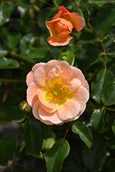 Flower Carpet Amber Rose (Rosa 'Flower Carpet Amber') at Roger's Gardens