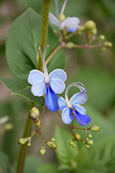 Blue Butterfly Plant (Clerodendrum ugandense) at Roger's Gardens