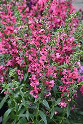 Pink Angelonia (Angelonia angustifolia 'Pink') at Roger's Gardens