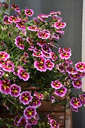 Can-Can Bumble Bee Pink Calibrachoa (Calibrachoa 'Balcanumbi') at Roger's Gardens
