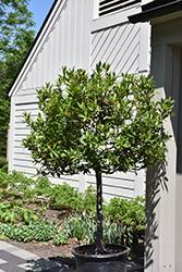 Bay Laurel (tree form) (Laurus nobilis (tree form)) at Roger's Gardens