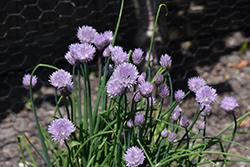 Staro Chives (Allium schoenoprasum 'Staro') at Roger's Gardens