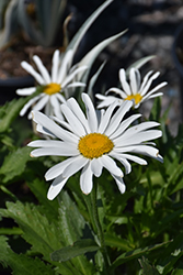 Lucille White Shasta Daisy (Leucanthemum x superbum 'Lucille White') at Roger's Gardens