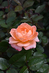 Jump For Joy Rose (Rosa 'WEKnewchi') at Roger's Gardens