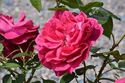Grande Dame Rose (Rosa 'WEKmerewby') at Roger's Gardens