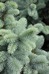 Hoopsii Blue Spruce (Picea pungens 'Hoopsii') at Roger's Gardens