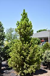 Big Berta White Spruce (Picea glauca 'Big Berta') at Roger's Gardens