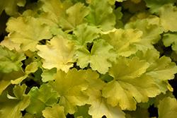 Lemon Love Coral Bells (Heuchera 'Lemon Love') at Roger's Gardens