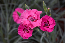 American Pie Bumbleberry Pie Pinks (Dianthus 'Wp15 Pie54') at Roger's Gardens