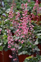 Pink Revolution Foamy Bells (Heucherella 'Pink Revolution') at Roger's Gardens