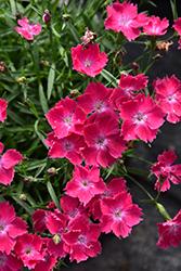 Kahori Scarlet Pinks (Dianthus 'Kahori Scarlet') at Roger's Gardens