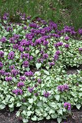 Purple Dragon Spotted Dead Nettle (Lamium maculatum 'Purple Dragon') at Roger's Gardens