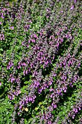 Creeping Germander (Teucrium chamaedrys) at Roger's Gardens