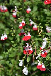 Hot Lips Sage (Salvia microphylla 'Hot Lips') at Roger's Gardens
