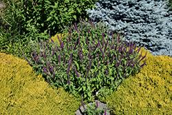 Purple Tails Germander (Teucrium hyrcanicum 'Purple Tails') at Roger's Gardens