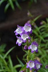 Carillo Purple Beard Tongue (Penstemon x mexicali 'Carillo Purple') at Roger's Gardens