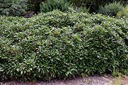 David Viburnum (Viburnum davidii) at Roger's Gardens