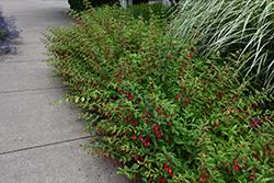 Hardy Fuchsia (Fuchsia magellanica) at Roger's Gardens