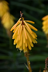 Little Maid Torchlily (Kniphofia 'Little Maid') at Roger's Gardens