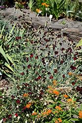 Grenadin King Of The Blacks Carnation (Dianthus caryophyllus 'Grenadin King Of The Blacks') at Roger's Gardens