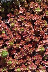 Dragon's Blood Stonecrop (Sedum spurium) at Roger's Gardens