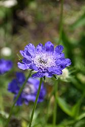 Fama Deep Blue Pincushion Flower (Scabiosa caucasica 'Fama Deep Blue') at Roger's Gardens