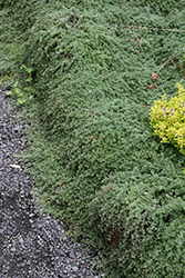 Wooly Thyme (Thymus pseudolanuginosis) at Roger's Gardens