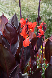 Red Futurity Canna (Canna 'Red Futurity') at Roger's Gardens