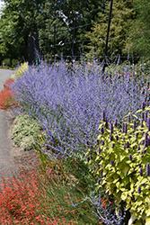 Russian Sage (Perovskia atriplicifolia) at Roger's Gardens