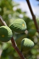 Desert King Fig (Ficus carica 'Desert King') at Roger's Gardens