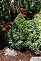 Alberta Blue Dwarf Spruce (Picea glauca 'Alberta Blue') at Roger's Gardens