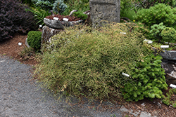 Threadleaf Dwarf Nandina (Nandina domestica 'Filamentosa') at Roger's Gardens