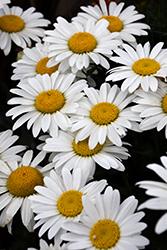 Snowcap Shasta Daisy (Leucanthemum x superbum 'Snowcap') at Roger's Gardens