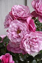 Barbra Streisand Rose (Rosa 'WEKquaneze') at Roger's Gardens