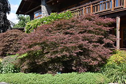 Ever Red Lace-Leaf Japanese Maple (Acer palmatum 'Ever Red') at Roger's Gardens