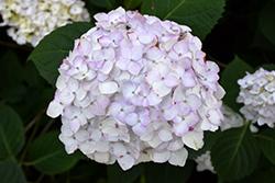 Blushing Bride Hydrangea (Hydrangea macrophylla 'Blushing Bride') at Roger's Gardens