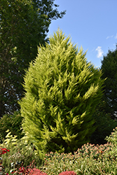 Donard Gold Monterey Cypress (Cupressus macrocarpa 'Donard Gold') at Roger's Gardens