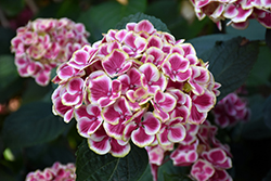 Buttons 'N Bows Hydrangea (Hydrangea macrophylla 'Buttons 'N Bows') at Roger's Gardens