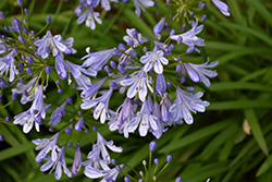 Queen Anne Agapanthus (Agapanthus africanus 'Queen Anne') at Roger's Gardens