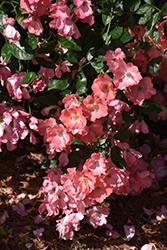 Flower Carpet Coral Rose (Rosa 'Flower Carpet Coral') at Roger's Gardens