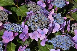 Seaside Serenade Outer Banks Hydrangea (Hydrangea macrophylla 'SMHMEPSILON') at Roger's Gardens