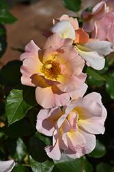 Nitty Gritty Peach Rose (Rosa 'RUIRI0091A') at Roger's Gardens